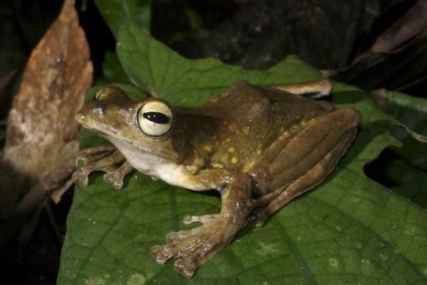 Annam Flying frog (Rhacophorus annamensis)