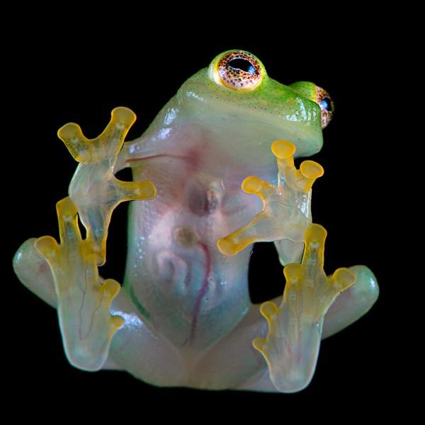 Northern glassfrog (Hyalinobatrachium fleischmanni)