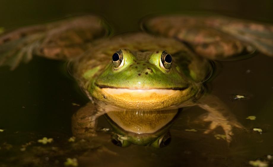 North American Bullfrog (Rana catesbeiana)