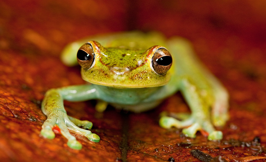 Red webbed tree frog (Hypsiboas rufitelus)