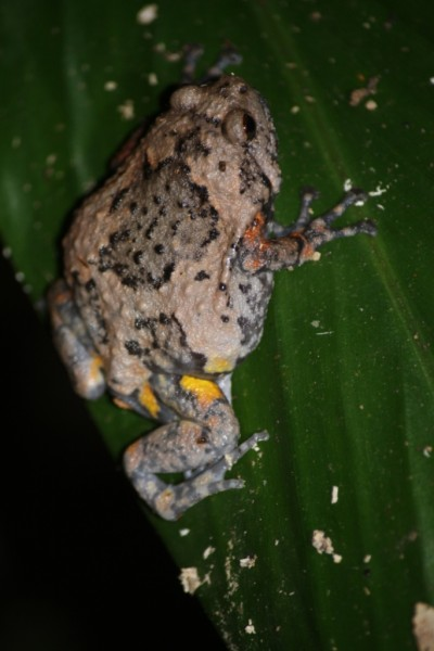 Brown bullfrog (Kaloula baleata)