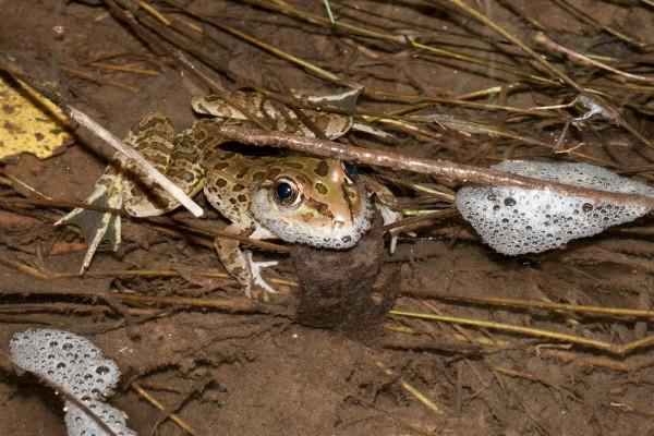 Lowland leopard frog (Lithobates yavapaiensis)