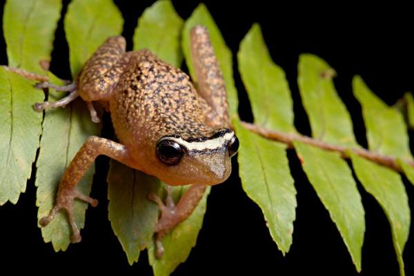 Papillated rain-peeper (Pristimantis phoxocephalus)