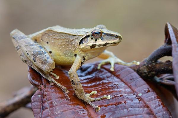 W rain-peeper (Pristimantis w-nigrum)
