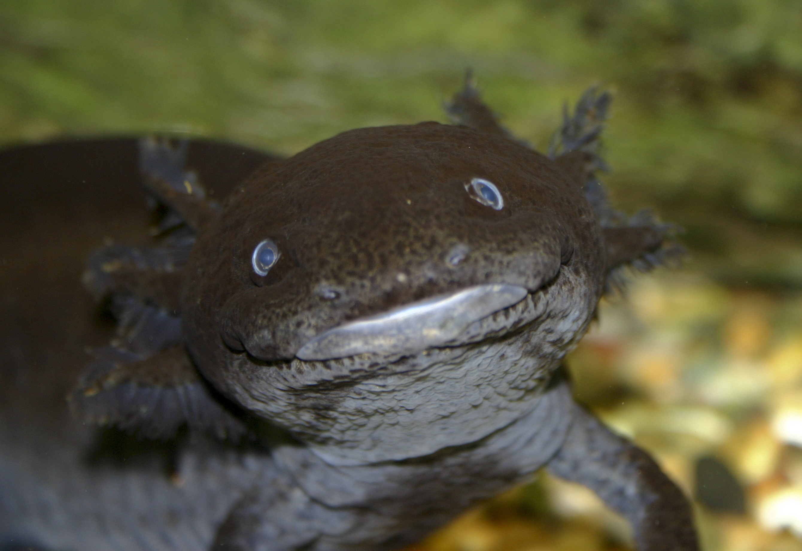 how to say axolotl in japanese