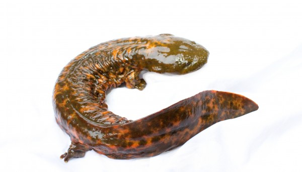 Hellbender (Cryptobranchus alleganiensis)