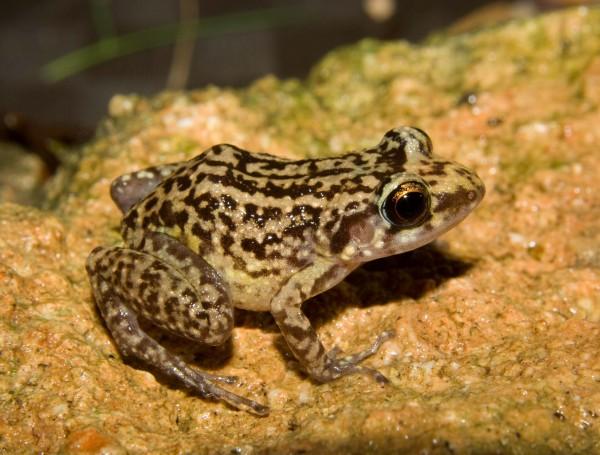 Oriente Mottled Frog (Eleutherodactylus simulans)