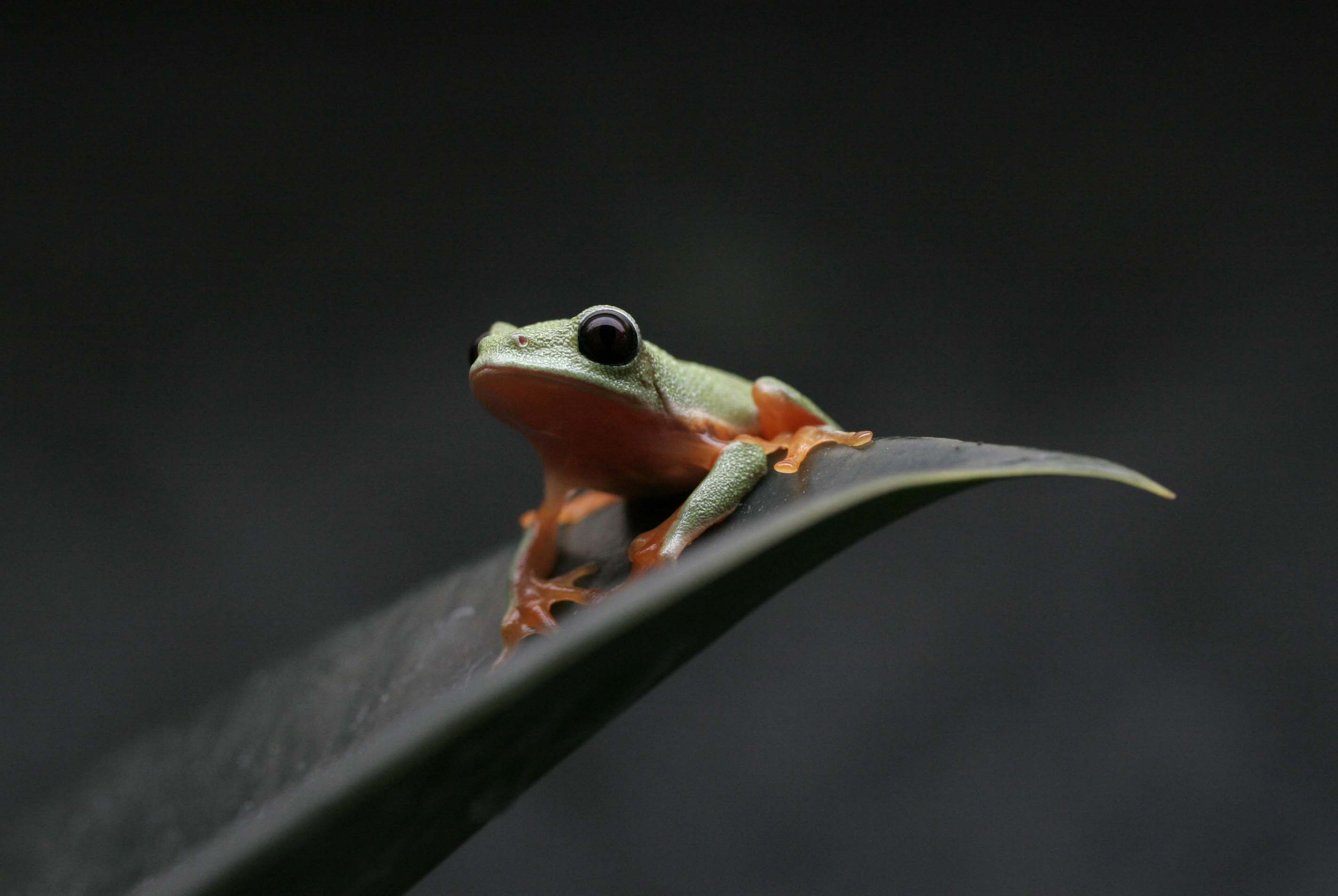 Morelet&#039;s tree frog (Agalychnis moreletii)