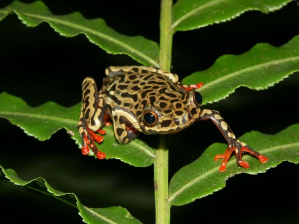 Riggenbachs reed frog (Hyperolius riggenbachi)