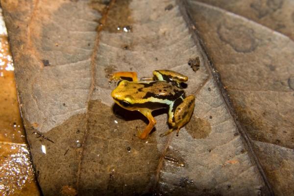 Robber frog (Eleutherodactylus orientalis)