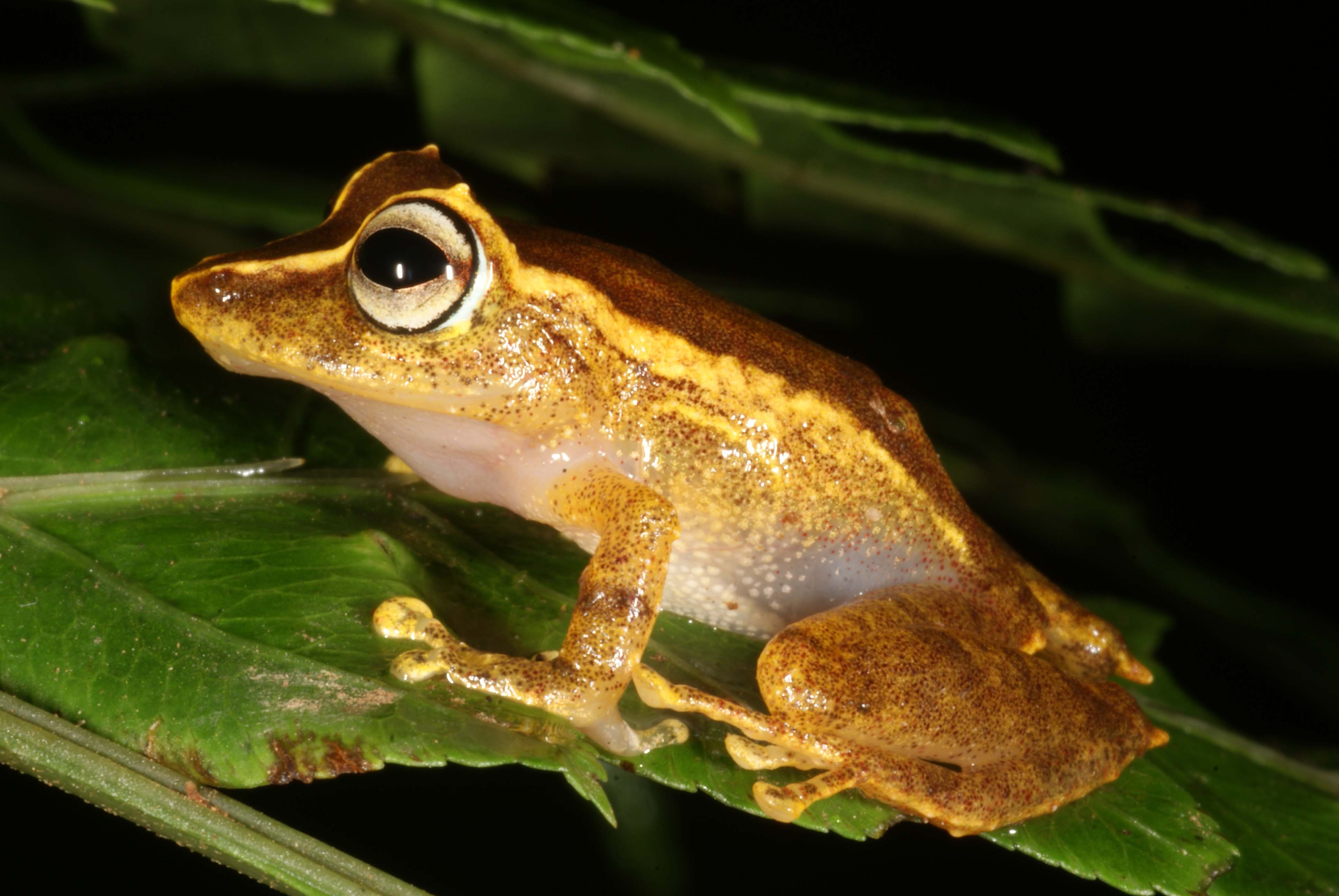 La Loma robber frog (Pristimantis caryophyllaceus)