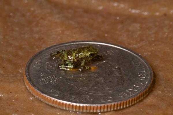 Limosa harlequin frog (Atelopus limosus) baby on a U.S. quarter.