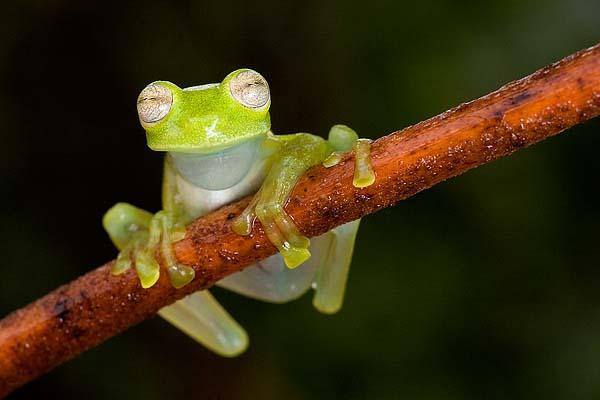Ecuador Cochran frog (Nymphargus griffithi)