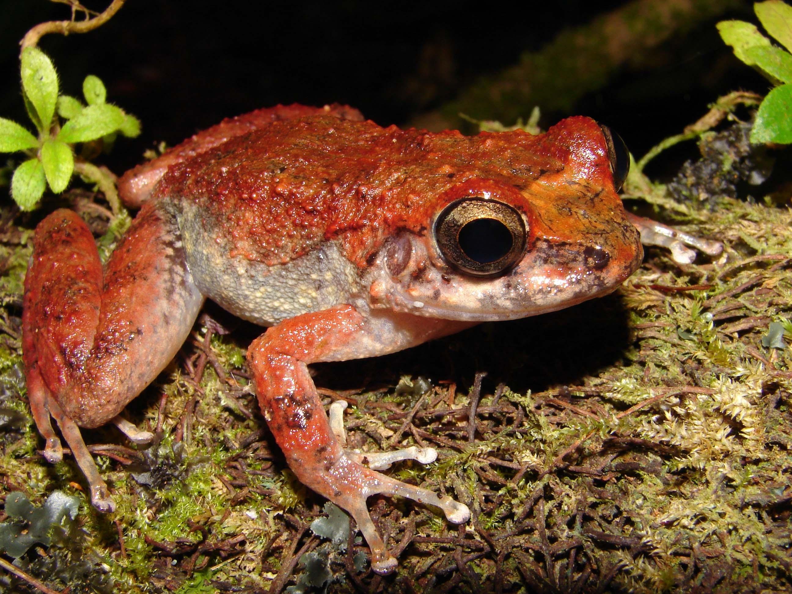 Turquino Robber Frog (Eleutherodactylus turquinensis )
