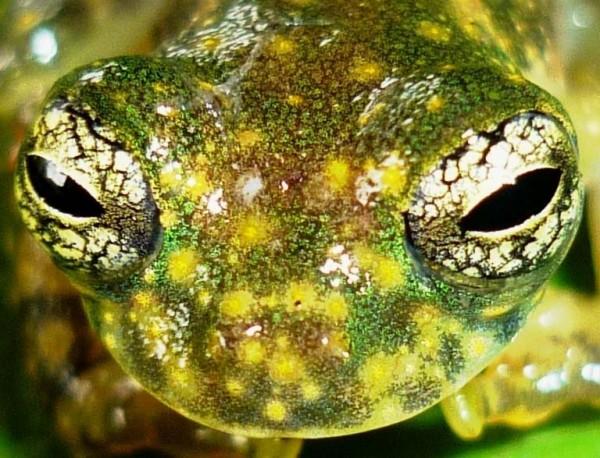 White-spotted cochran frog (Sachatamia albomaculata)