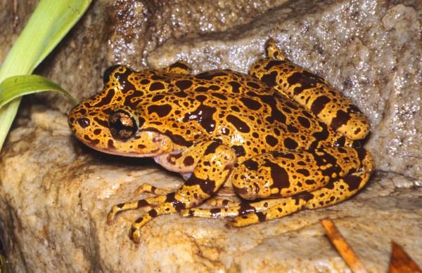 Hewitt's Ghost Frog- Heleophryne hewitti