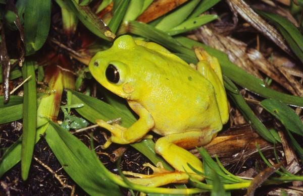Long-toed tree frog (Leptopelis xenodactylus)-- Richard Boycott