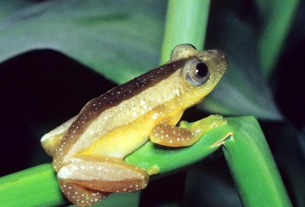 Natal Banana Frog (Afrixalus spinifrons)