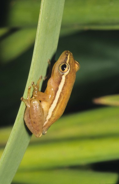 Pickersgill's reed frog- Hyperolius pickersgilli
