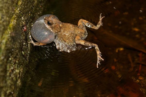 Tungara_frog