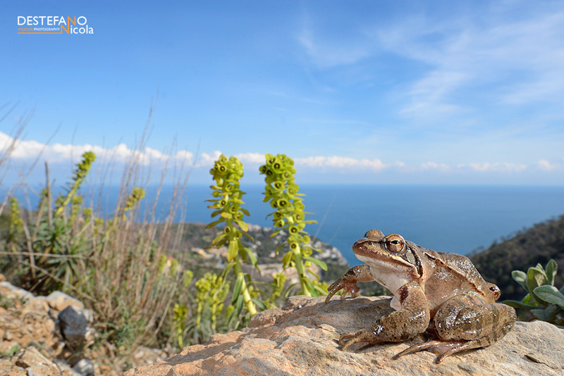 How's that for a view? The Agile Frog Rana dalmatina, (c) Nicola Destefano