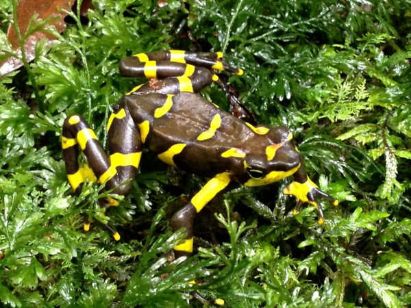 There are two types of golden frogs in Panama, Atelopus zeteki, the Panamanian golden frog, and Atelopus varius, the variable harlequin frog, which has more variable coloration ranging from mostly yellow to this darker chevron form. Photo: Jamie Voyles, Project Atelopus