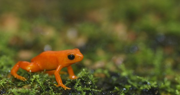 The Golden Mantella is a critically endangered frog from Madagascar Photo: Brian Gratwicke Smithsonian's National Zoo