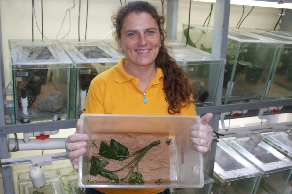 EVACC director, Heidi Ross with a box of juvenile captive-reared golden frogs (Atelopus varius).