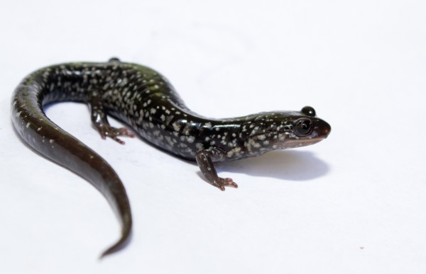 White spotted slimy salamander - Plethodon cylindraceus