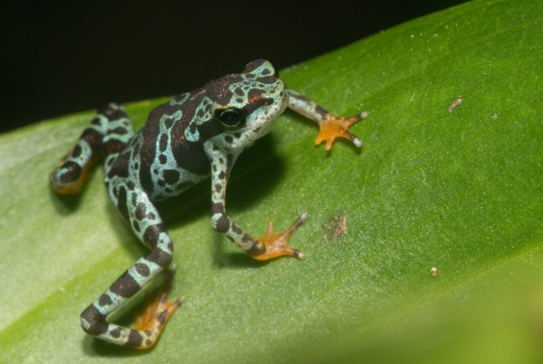 This new method could help us to test out new probiotic therapies and predict a captive-bred frog's survival from exposure to chytrid fungus, without ever having to expose them to it.