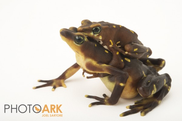 The Pirre harlequin frog (Atelopus glyphus). Photo (c) Joel Sartore