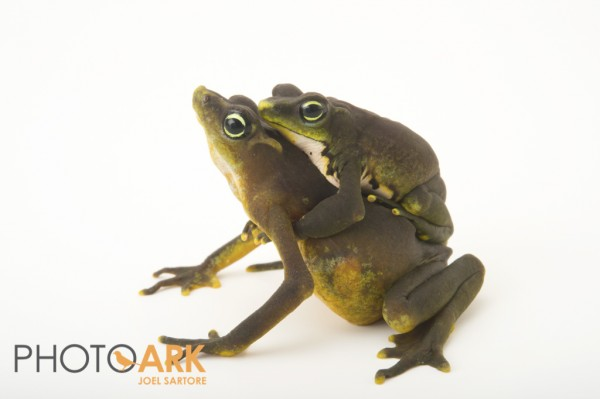 Brown form of Atelopus limosus. Photo (c) Joel Sartore.