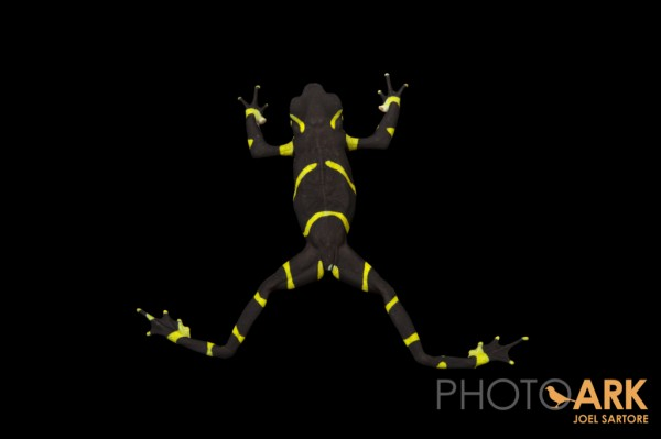 Chevron patterned Atelopus limosus. Photo (c) Joel Sartore