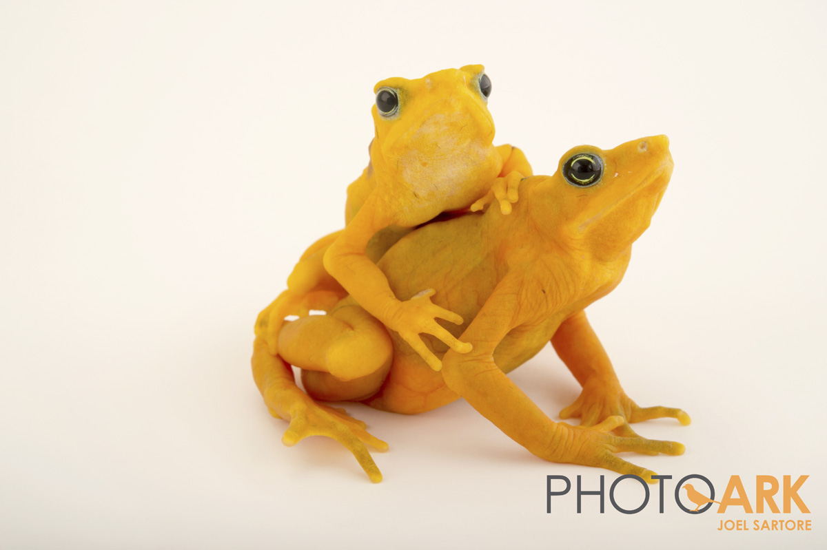 panamanian golden frog amphibian rescue and conservation project