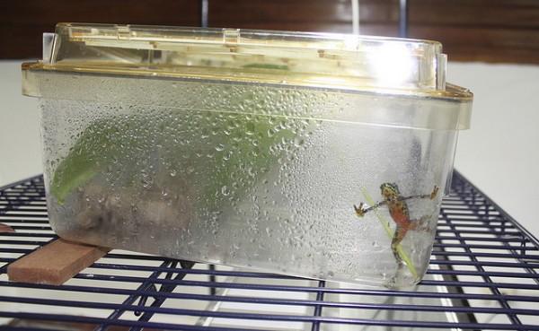 Atelopus limosus in quarantine