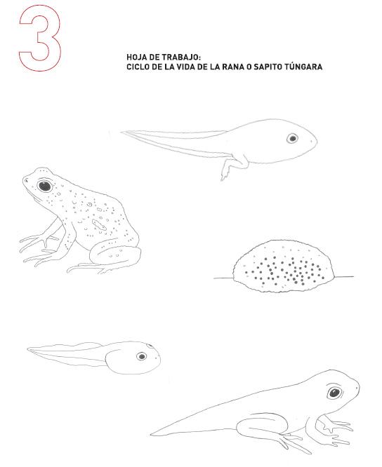 Ciclo de vida de la rana   Proyecto de Rescate y Conservación de ...