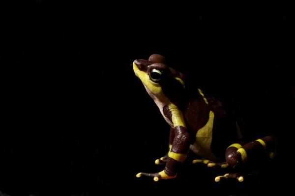 Atelopus limosus - Limosa Harlequin Frog