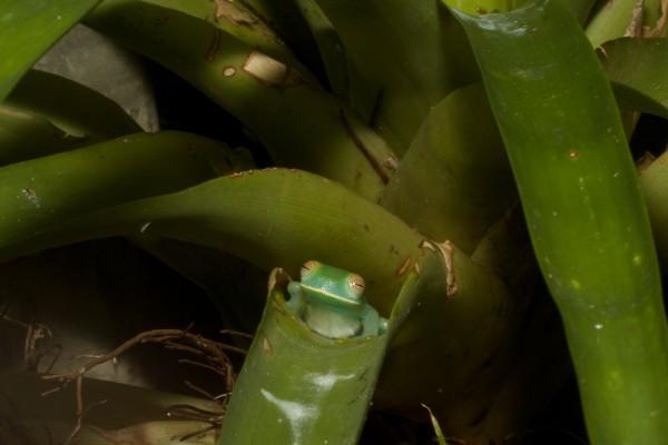 cochranella granulosa