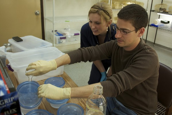 Study authors Matt Becker and Shawna Cikanek work to inoculate frogs with beneficial bacteria