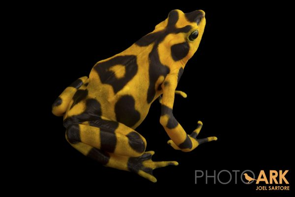 Variable harlequin frog
