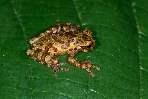 -(ilustración) Isthmohyla calypsa en la naturaleza, Foto Marcos Guerra, Instituto Smithsonian de Investigaciones Tropicales.