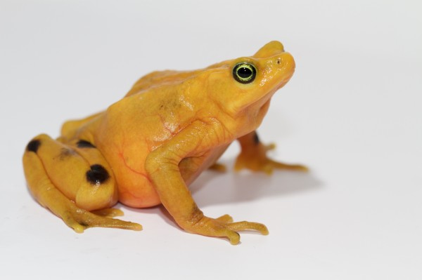 One of 2,000 captive Panamanian Golden Frogs managed in captivity by the Golden Frog Species Survival Plan and the Maryland Zoo in Baltimore Photo: Brian Gratwicke Smithsonian Conservation Biology Institute