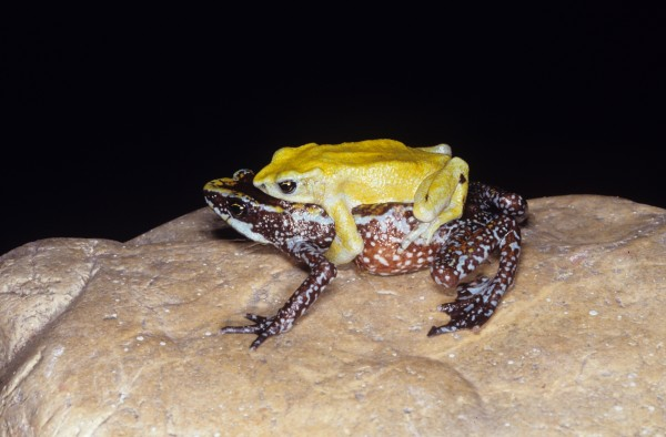 A pair of Atelopus chiriquiensis in amplexus. Photo (c) Marcos Guerra, Smithsonian Tropical Research Institute.