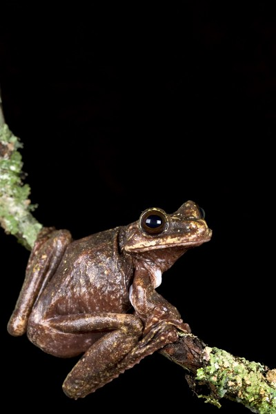 Ecnomiohyla rabborum - Rabb's Fringe-Limbed Frog at the Atlanta Botanical Gardens. Photo (c) Brad Wilson