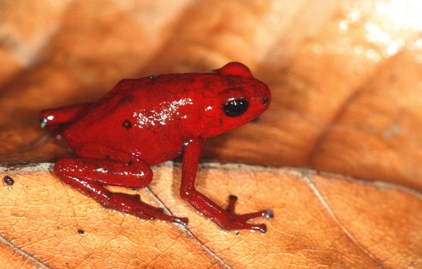 Oophaga speciosa, the Splendid poison dart frog. Photo (c) Marcos Guerra, Smithsonian Tropical Research Institute
