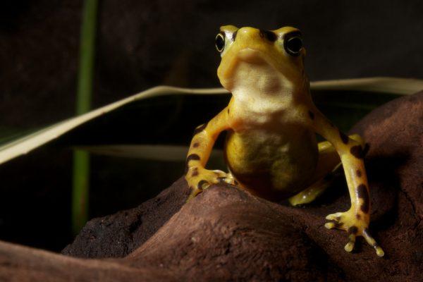 Panamanian golden frog_Brian Gratwicke