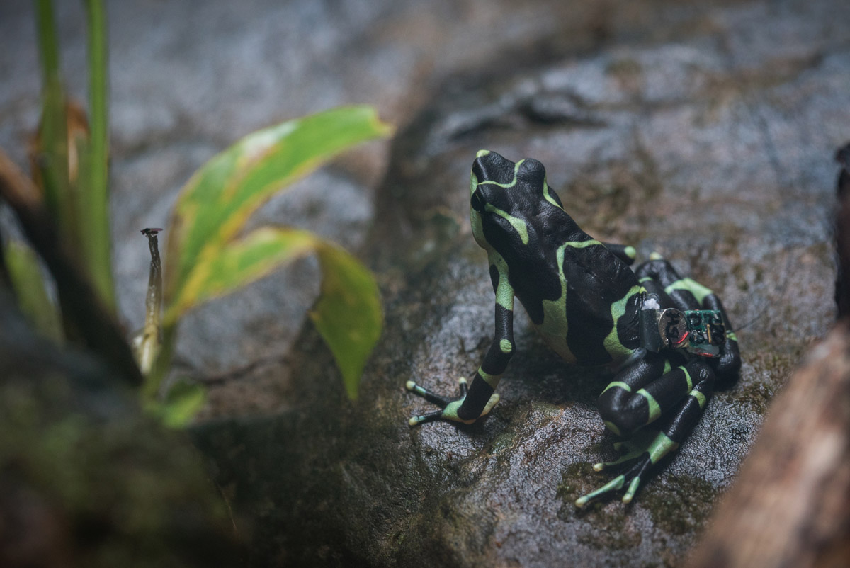 Atelopus limosus with radiotransmitter from Holohil Photo: R. Patel (NZP)