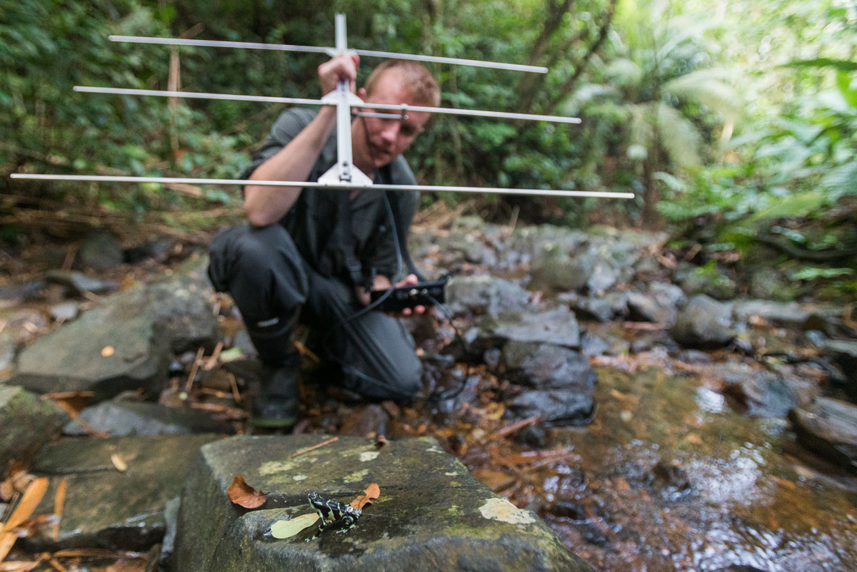 Blake Klocke radiotracking a released frog. Photo: R. Patel (NZP)