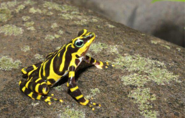 Borderlander Harlequin Frog