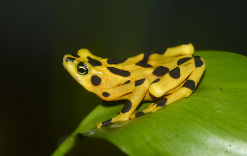 Panamanian Golden Frog, Atelopus zeteki, probably extinct in the wild